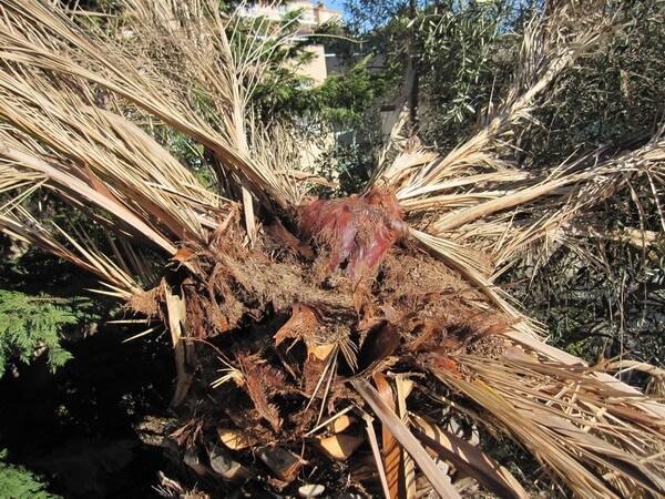 枯れたフェニックスの葉のつけ根