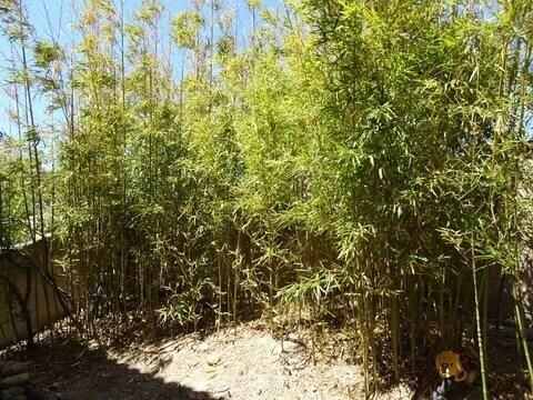 庭に植えた笹