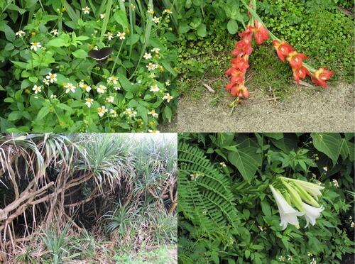 ヨロン島 散歩中に見た植物